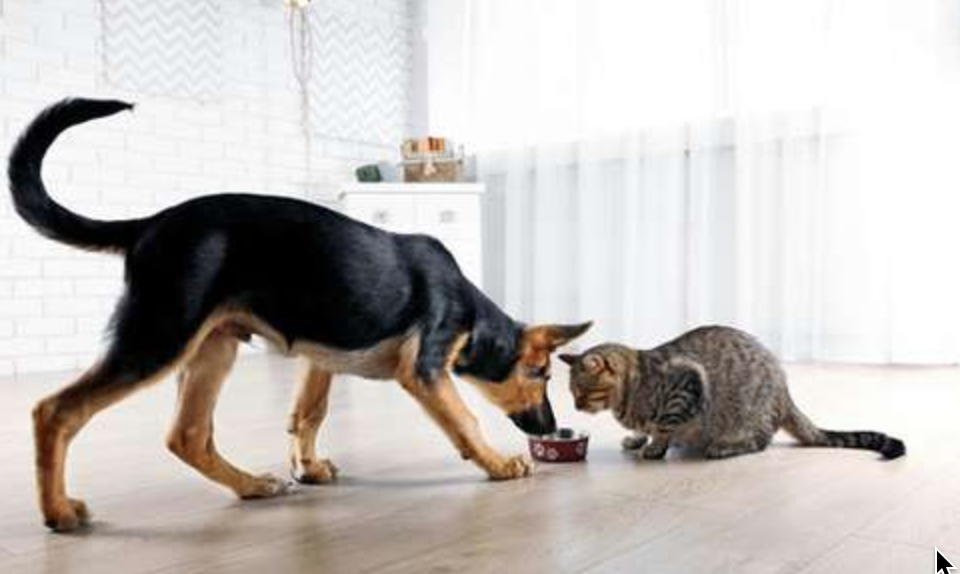 Importance of Taurine For Your Cat